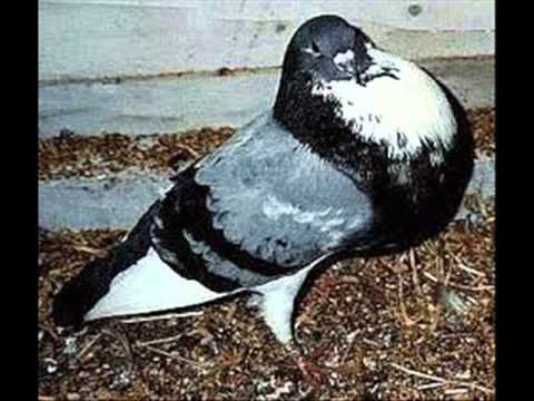      pigeon maroc