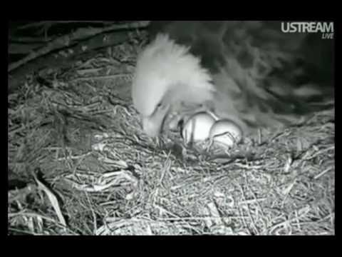 Decorah Eagles First Egg Pip and Hatch