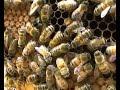 Beekeeping - Queen bee on frame