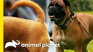 Why Do Dogs Wag Their Tails? | How Do Animals Do That? - ANIMALPLANETTV