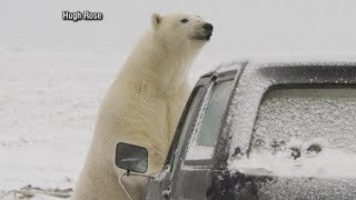 Polar bears descend on Alaskan village, causing tourist boom: Part 1 - ABCNEWS