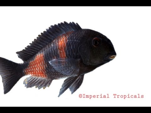 African Cichlid breeding room @ Imperial Tropicals part 1