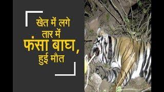Caught in a barbed wire fence, tiger dies in Sariska |सरिस्का में फंदे में फंसकर बाघ मौत - ZEENEWS