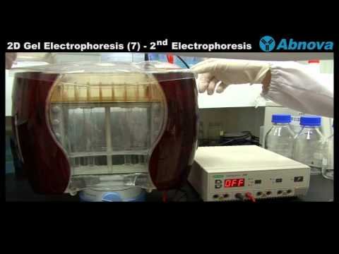 2D Gel Electrophoresis (7) 2nd Dimension