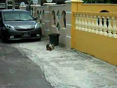 kucing berahi