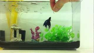 All about betta fish how much should i feed my betta for How often do i feed my betta fish