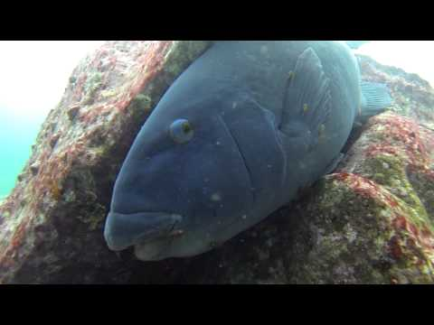 Blue Groper being cleaned by Eastern Cleaner-Clingfish