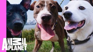 Five Insanely Cute Dog Moments From Pit Bulls & Parolees | Pit Bulls & Parolees - ANIMALPLANETTV