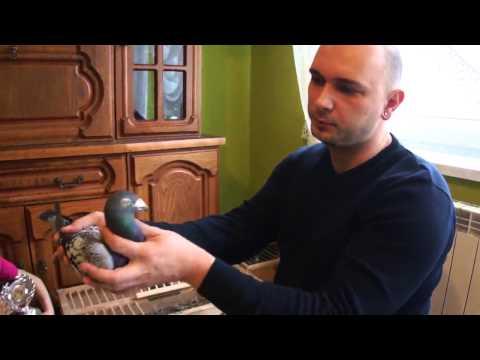 Arkadiusz Strzelczyk - gołębie na sprzedaż - 06.02.2015r.