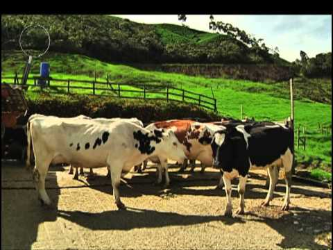 20 mil productores de leche en Antioquia no salen de la crisis