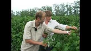 Сад и огород. Малина - лакомство и лекарство.