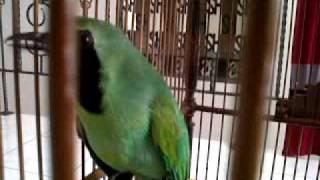 Cara membedakan burung cucak hijau jantan dengan betina