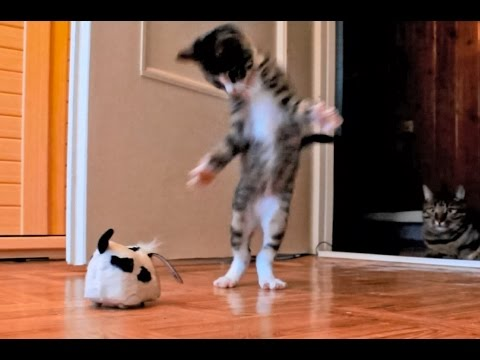 Kitten Versus Robotic Dog & Adult Cat