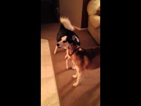 Huskies sing to their Rottweiler brother after his amputation surgery!