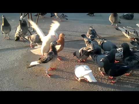 Posta Güvercinleri.