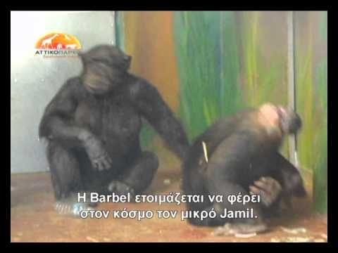Baby chimp's birth at Attica Zoological Park
