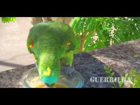 Ma M. - Papagaio Verdadeiro na árvore hora comer (Amazona aestiva)