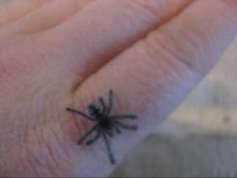 Avicularia versicolor spiderling walking
