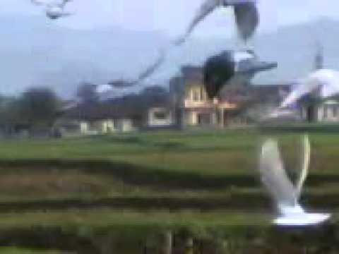 Merpati Tinggian 2011 - Ajilbab.Com Portal
