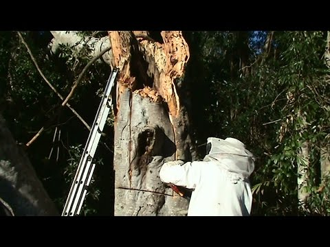 Beekeeping: Huge Beehive In a Huge Tree After a Huge Storm.