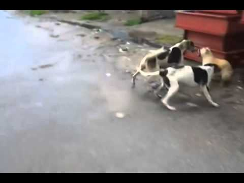 Dog Fight In IslamGarh mirpur azad kashmir pakistan