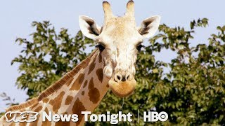Niger's Giraffe Mission & Italy Refugee Evictions: VICE News Tonight Full Episode (HBO) - VICENEWS
