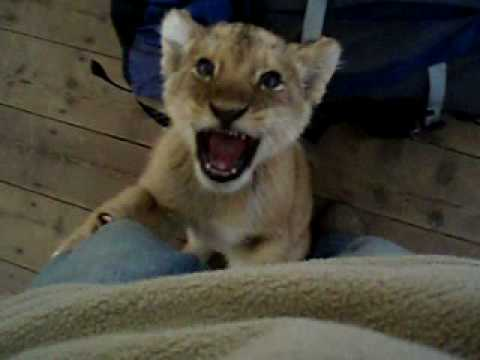 Young Lion Cub Climbing up my Leg