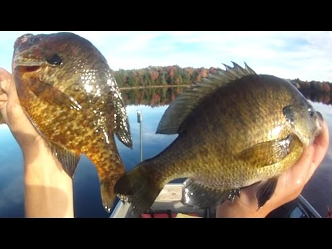 Bait Fishing #64 - Worm Fishing for 66 Bluegill and Pumpkinseed Sunfish by Boat