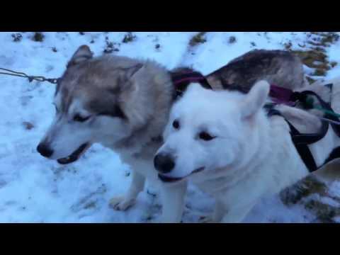 Jedward Husky Dogs
