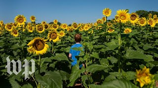 A sea of sunflowers in full bloom near Washington - WASHINGTONPOST