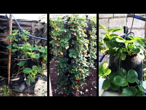 Hidroponia vertical de fresas Decoragro. 2013