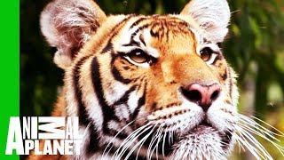 A Frozen, Bloody Treat for Tigers - ANIMALPLANETTV