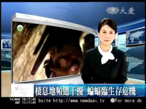 專題報導 保育系列 與自然共舞一蝙蝠達人 20090720