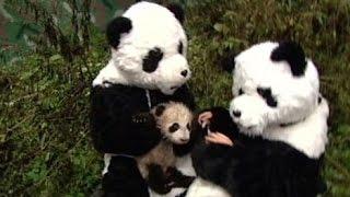 10 Perfect Panda Stories in Honor of Bao Bao | ABC News Remix - ABCNEWS