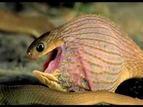 Como una serpiente se come un huevo