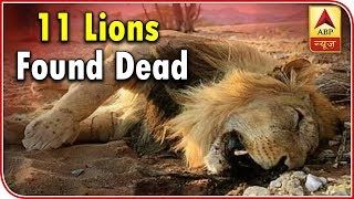 11 Lions Found Dead In Gujarat's Gir Forest - ABPNEWSTV