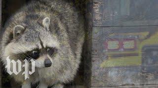 Stoned raccoon bemuses Indiana firefighters - WASHINGTONPOST
