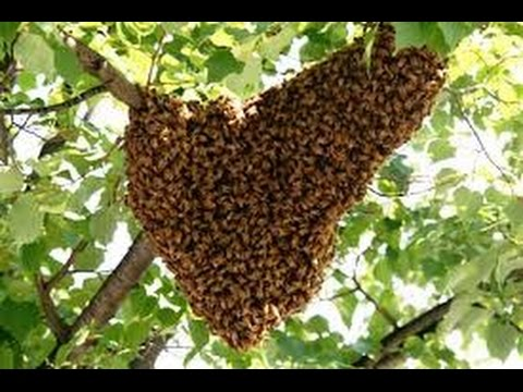 Honeybees Swarming Prevention. Beekeepers Honey Bees in the Hive or on the Tree