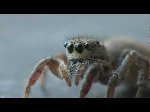 Super Cute Spider Habronattus Coecatus Jumping Spider