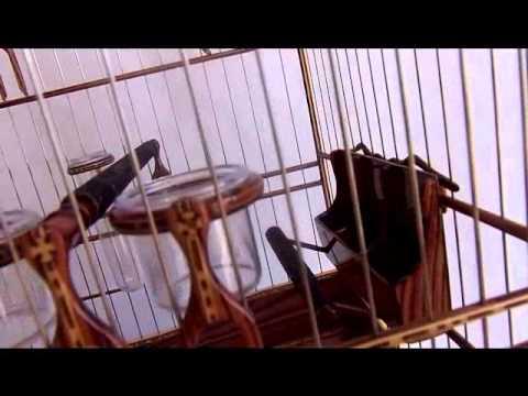 gaiola de curio assista mais uma obra de arte de neroli