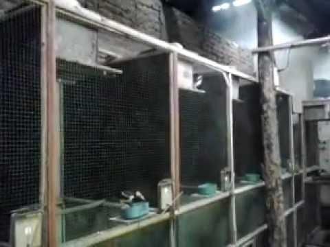 Kandang Penangkaran Untuk Ternak Jalak Suren Lokal (18)