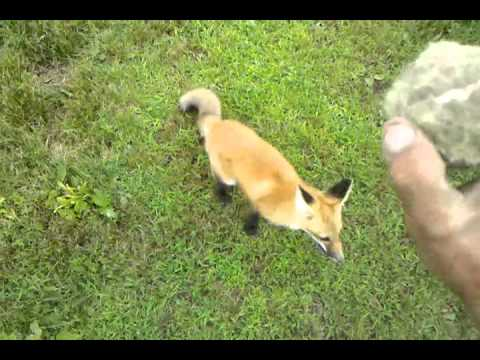 My pet fox