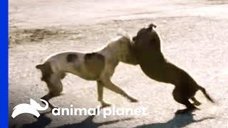 A Dog Fight Leaves Joe in Shock | Pit Bulls and Parolees - ANIMALPLANETTV