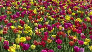 Visitors Marvel at Tulips During Spring in Netherlands - VOAVIDEO