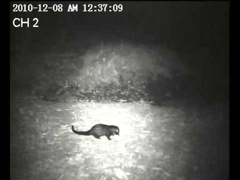 Honey badger chases a civet. who has dared to encroach on his territory