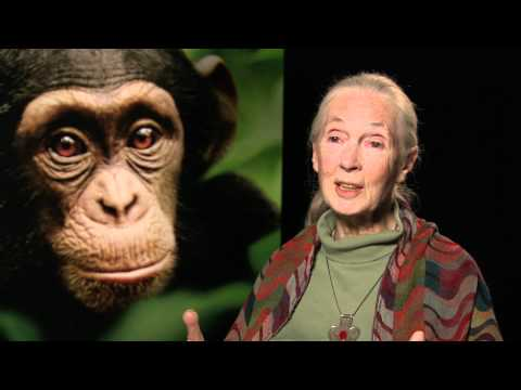 See Chimpanzee, Save Chimpanzees