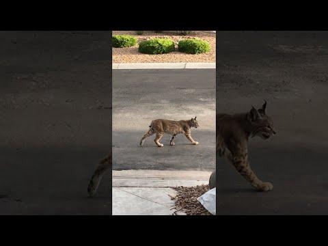 Bobcat Patrols Las Vegas Neighborhood