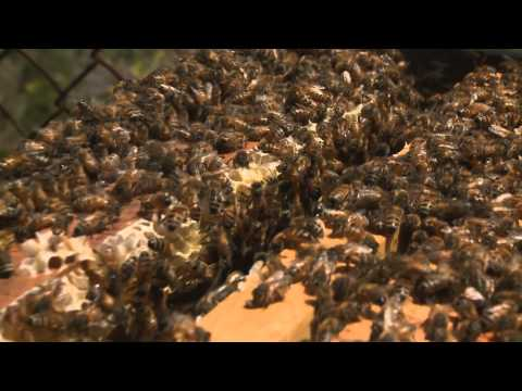 New Research into Disappearing Bees - KQED QUEST