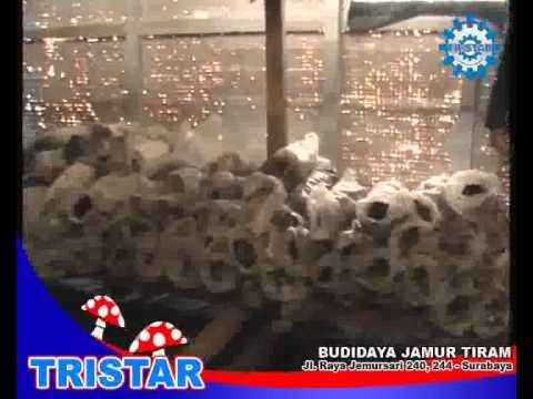 Pelatihan Usaha Budidaya Jamur Tiram. Politeknik Tristar   085733691548.