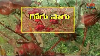 గోంగూర సాగు పద్ధతులు | Protection Techniques & Tips to Gogu Cultivation | Raithe Raju | CVR NEWS - CVRNEWSOFFICIAL